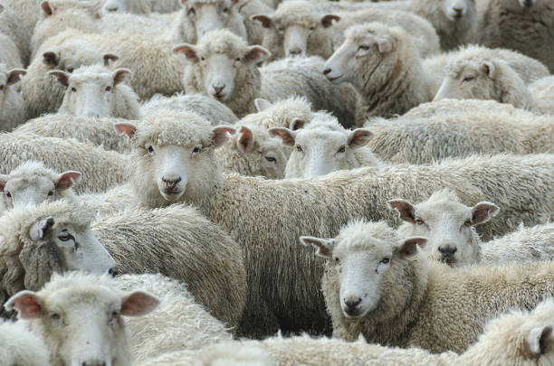 Herd of Sheep in the rain, New Zealand Herd of wooly wet sheep looking towards the viewer. Focus on one sheep. merino sheep stock pictures, royalty-free photos & images