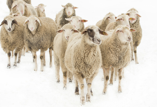 Herd of sheep looking around inquisitively