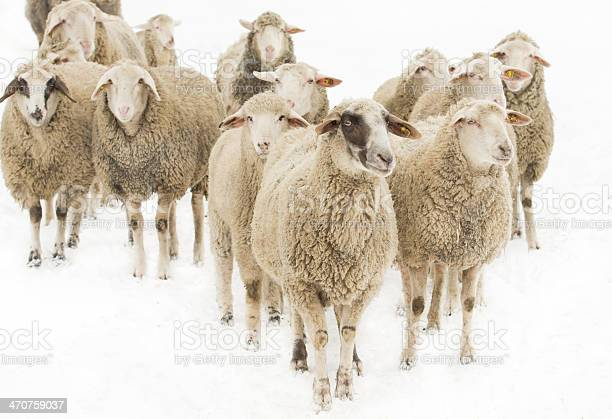 Herd of sheep looking around inquisitively picture id470759037?b=1&k=6&m=470759037&s=612x612&h=g2ishthzleujk7hp2zv9thfv8txmfd7dz 4rejeps5i=