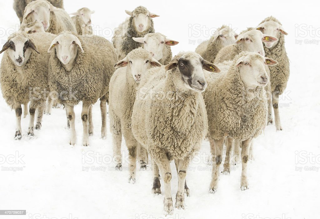 Herd of sheep looking around inquisitively stock photo