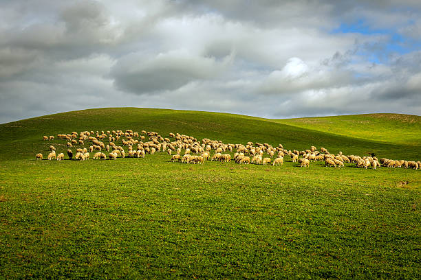 Herd of sheep on a tuscan fields in tuscany italy picture id638298806?b=1&k=6&m=638298806&s=612x612&w=0&h=ankrrb0ir8xfzei17nv9gtjcep2xaeg4zmwk711aybc=