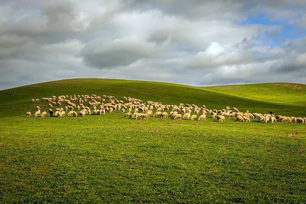 Mandria di pecore su un Toscana campi in Toscana, Italia - foto stock