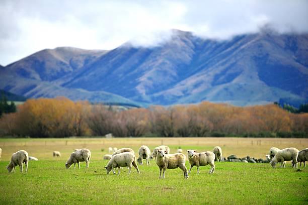 Troupeau de moutons sur green meadow - Photo