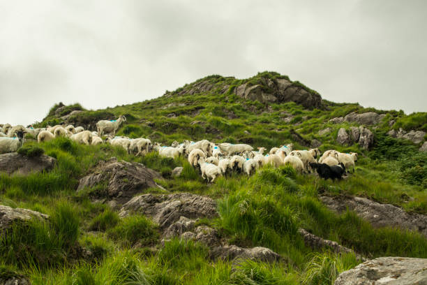 Herd of sheep on road in Kerry, Ireland. stock photo