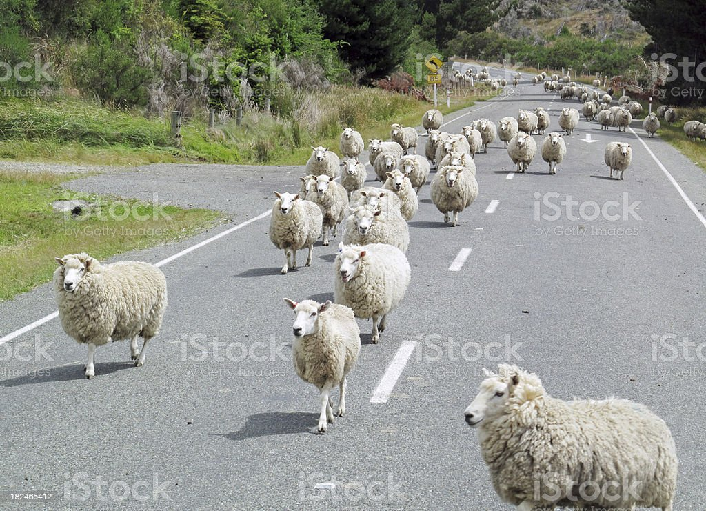 Herd Of Sheep On Road stock photo