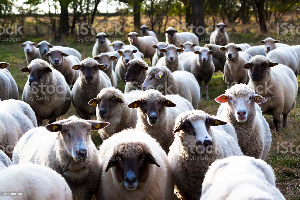 Herd of sheep on the farm stock photo