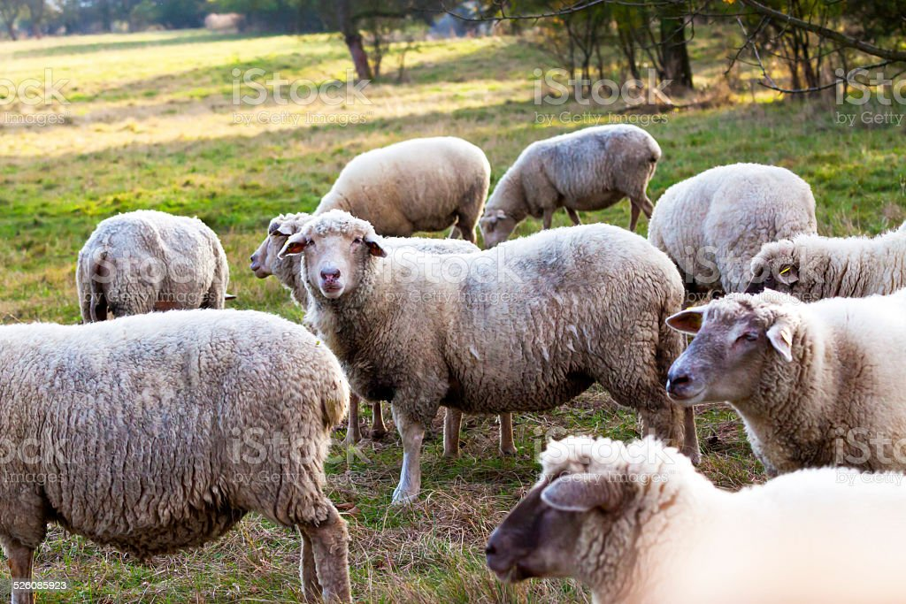 Herd of sheep on the farm with autumn sunlight stock photo