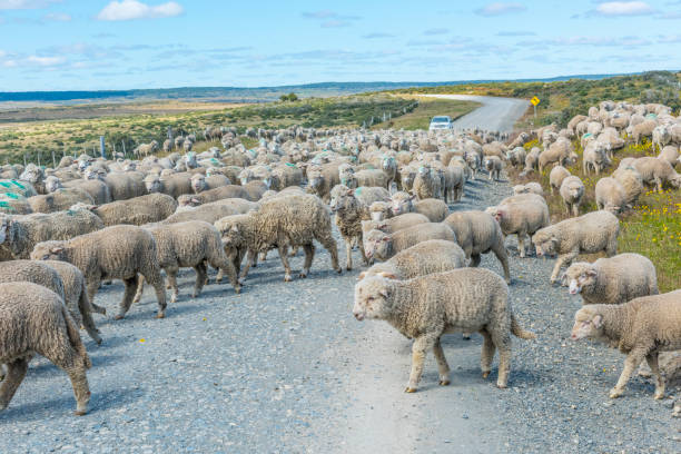 Herd of sheep on the road in Tierra del Fuego Herd of merino sheep on the road to farm in Tierra del Fuego, Argentina merino sheep stock pictures, royalty-free photos & images