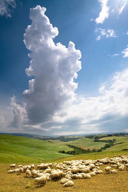 Herde von Schafen auf der Toskana landwirtschaftlichen Nutzflächen – Foto