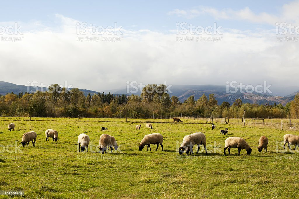 Herd of Sheep royalty-free stock photo