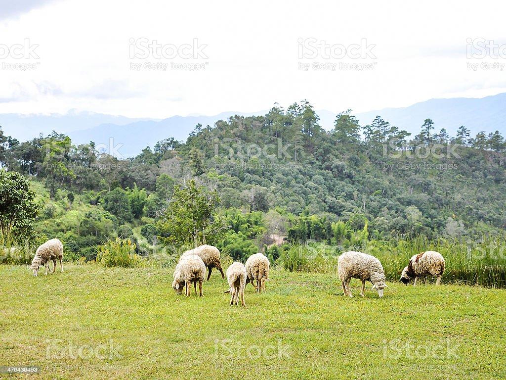 Herd of sheep royalty-free stock photo