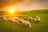 istock Herd of sheep 500909234