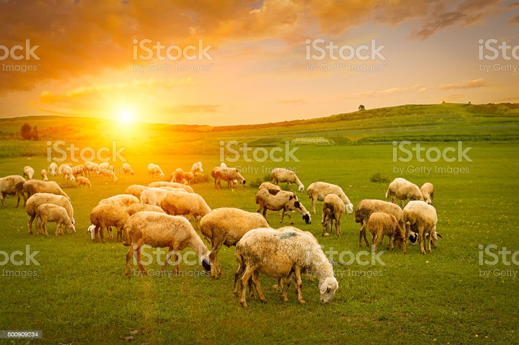 Herd of sheep stock photo
