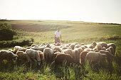 Herd of sheep's in summer. The shepherd.