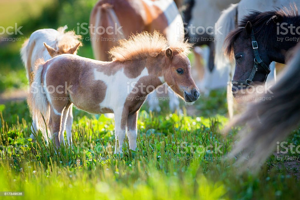Herd of small horses in pasture stock photo