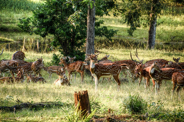 Herd of spotted deer A herd of spotted deer in the middle of the Pench National Reserve in India axis deer stock pictures, royalty-free photos & images
