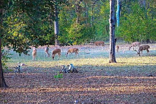 A herd of Spotted Deere with Langur Monkies in morning shunshine. True friends