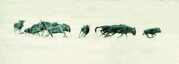 Herd of Springbok running on a plain in the Kalahari artistic conversion Herd of Springbok running on a plain in the Kalahari artistic conversion wildebeest running stock pictures, royalty-free photos & images