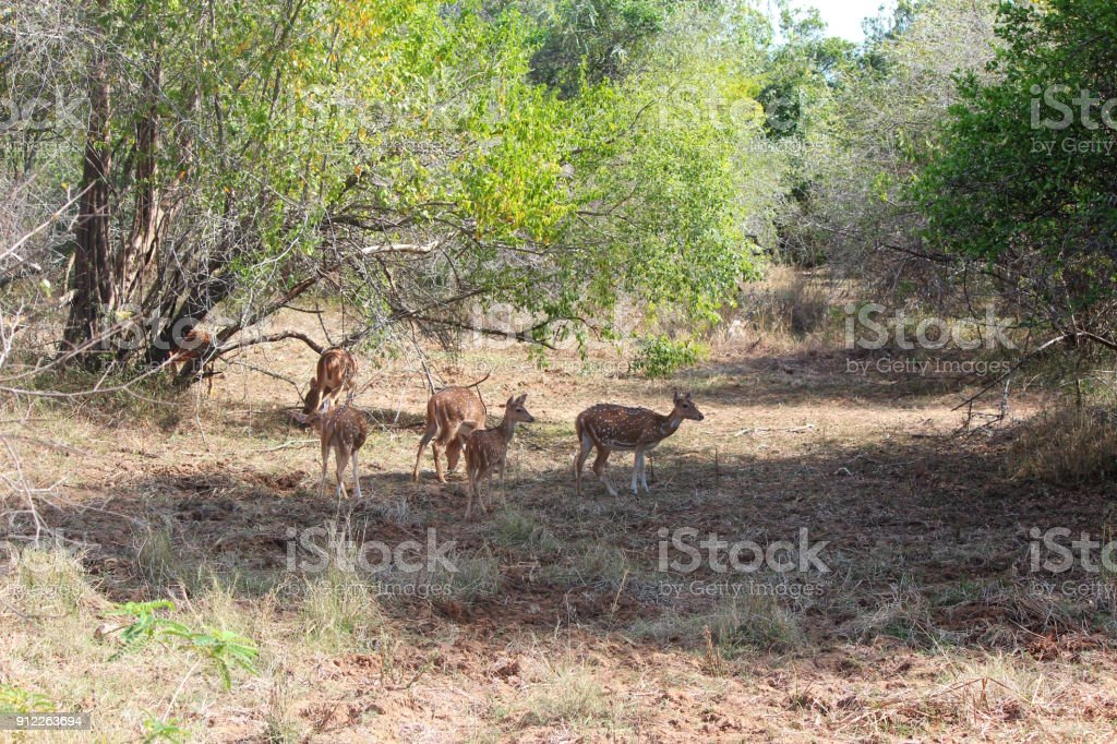 Herd Of Sri Lankan Axis Deer Stock Photo More Pictures Of Animal