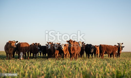 Group of young steers in the meadow