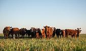 istock Herd of steers looking at camera 1167064450