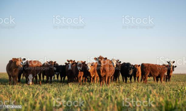 Herd of steers looking at camera picture id1167064450?b=1&k=6&m=1167064450&s=612x612&h=swwiweb5mx63r35q4xrmc3p8eawfobsf2dzfo79gvb8=