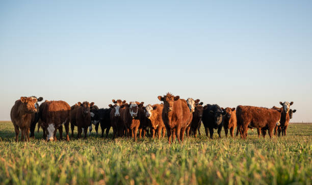 Herd of steers looking at camera Group of young steers in the meadow herbivorous stock pictures, royalty-free photos & images