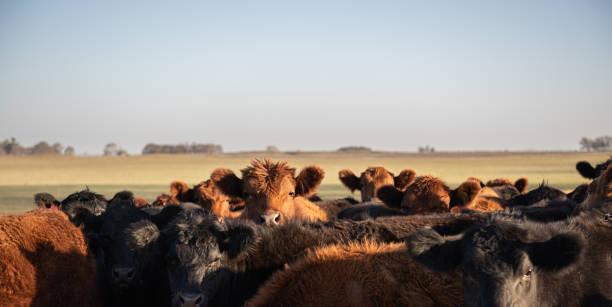 Herd of steers stock photo