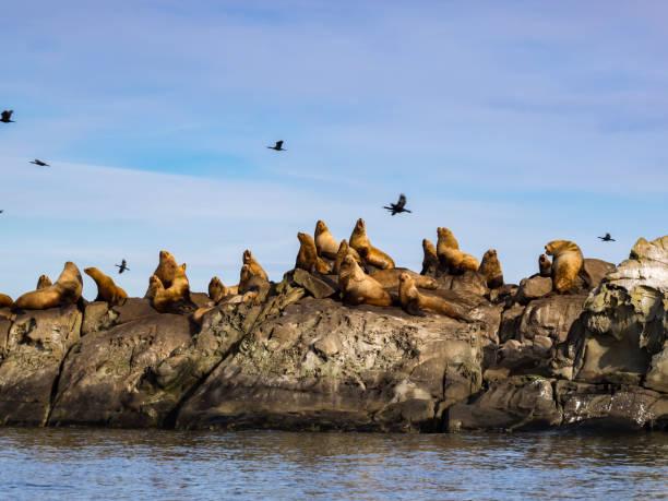 Herd of Steller Sea Lions (Eumetopias jubatus) stock photo