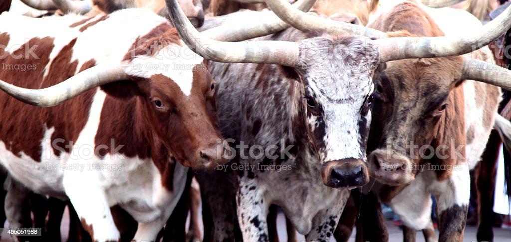 Herd of Texas Longhorn Cow Steer Bull stock photo