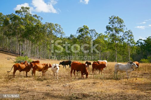 Australian Brahman and Droughtmaster cattle in dusty, dry, drought conditions.  In the background is a stand of dense evergreen eucalypt (gum) and other trees.  Brahman cattle are able to adapt to harsh tropical climate and environments. Horizontal, copy space.