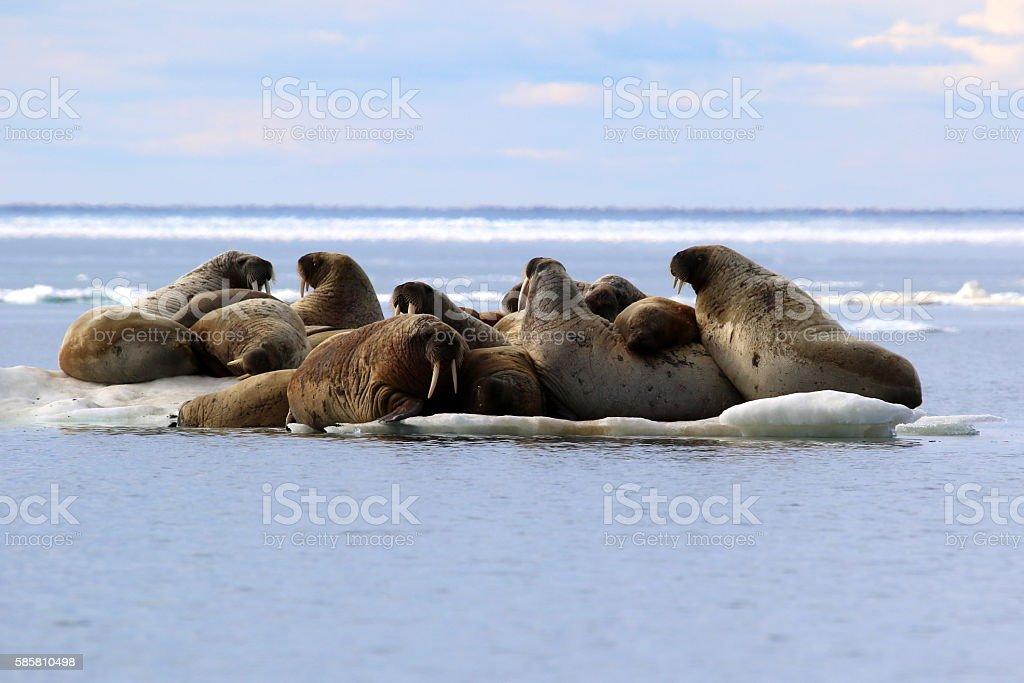 Herd of walruses on ice floe stock photo