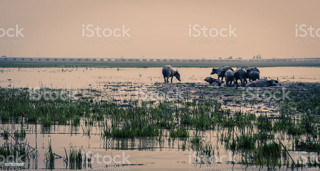Herd of water buffalo in wetland, Thailand. Vintage color image stock photo