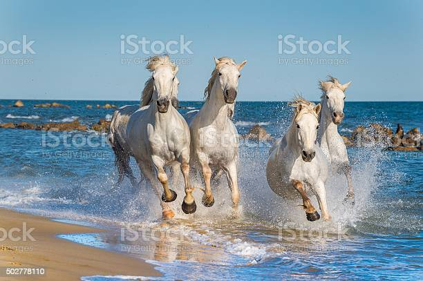 Herd of white camargue horses fast running picture id502778110?b=1&k=6&m=502778110&s=612x612&h=7awvzcwbpmifyt8ih0rwy5w71llfdjnga7iht5bdv a=