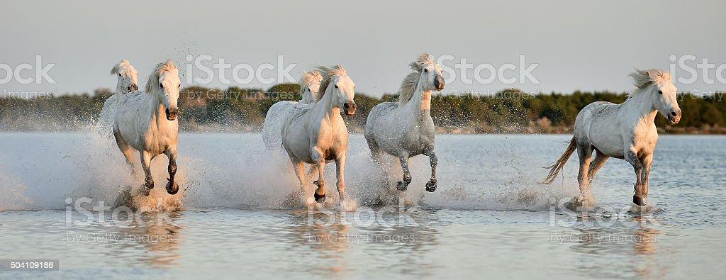 Herd of White Camargue horses stock photo