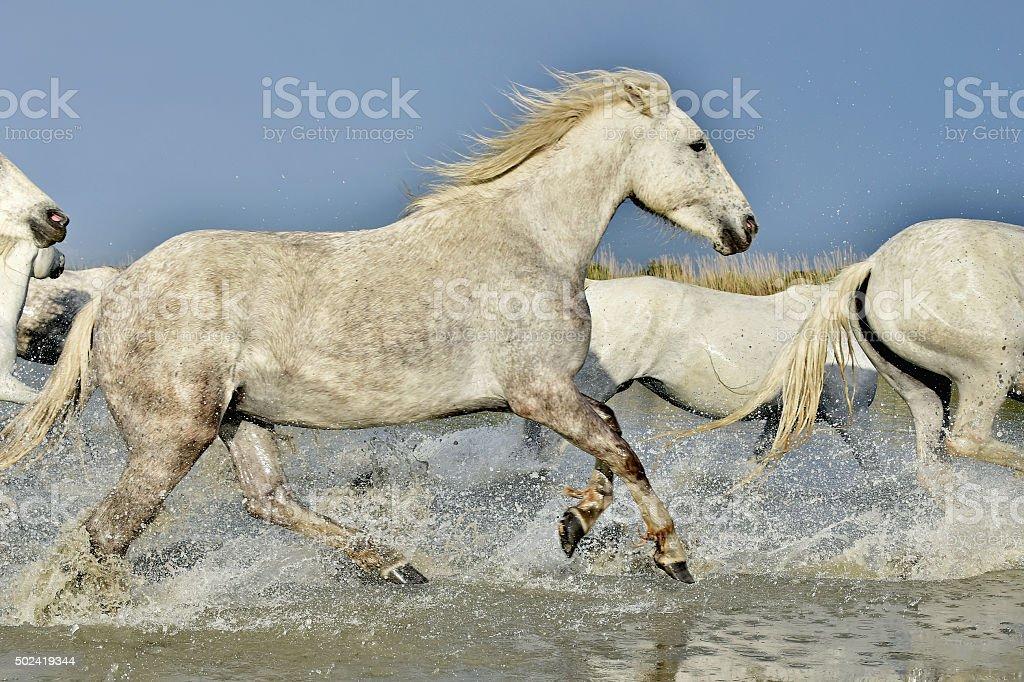 Herd Of White Horses Running Through Water In Sunset Light Stock