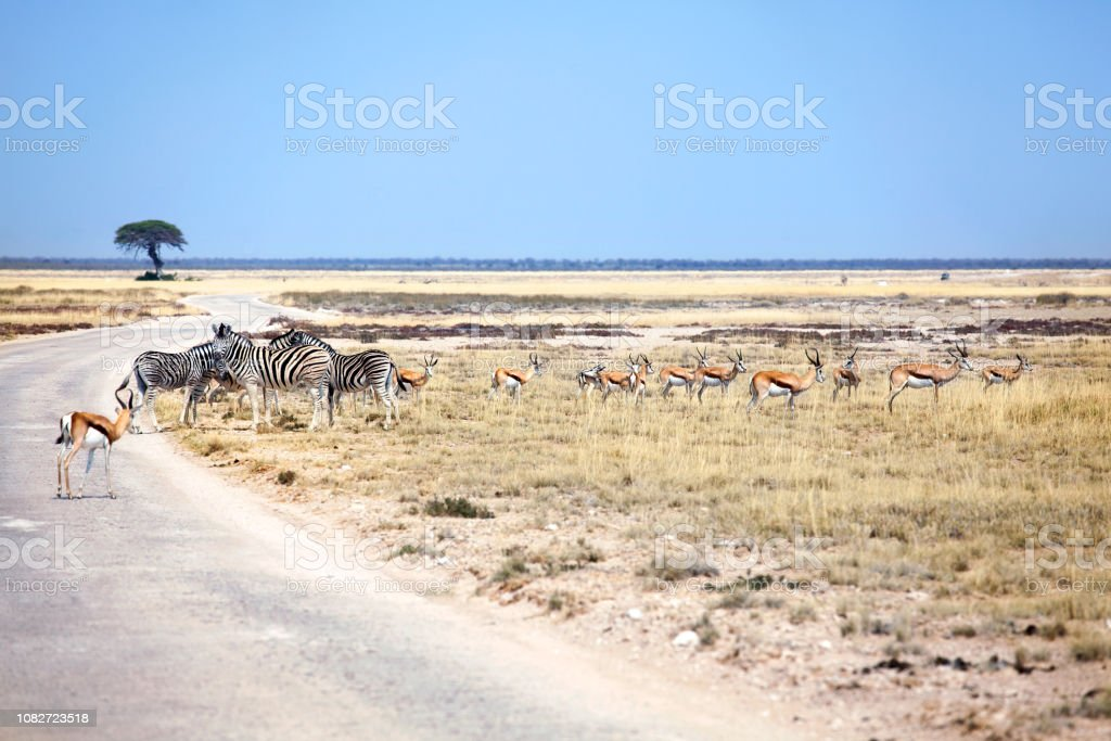Herd of wild animals zebras and impala antelopes in field at the road on safari in Etosha National Park, Namibia, South Africa stock photo
