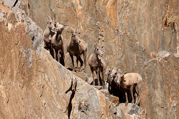 Bunching up, a herd of bighorn sheep lambs and ewes, scale a rocky cliff face in Waterton Canyon outside Denver, Colorado.