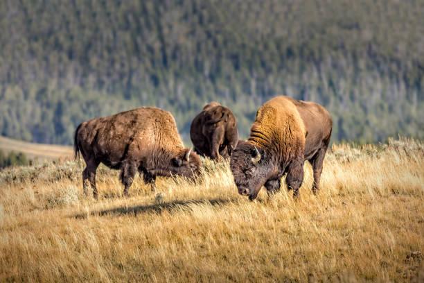 Herd of wild bisons, Yellowstone National Park stock photo