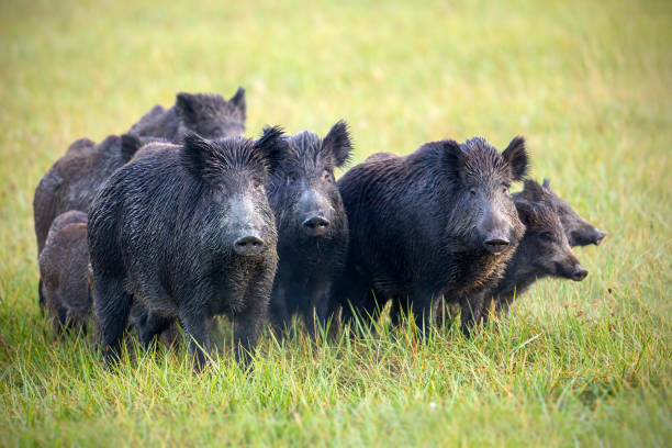 a herd of wild boars on a meadow with grass wet from dew. - cinghiale animale foto e immagini stock