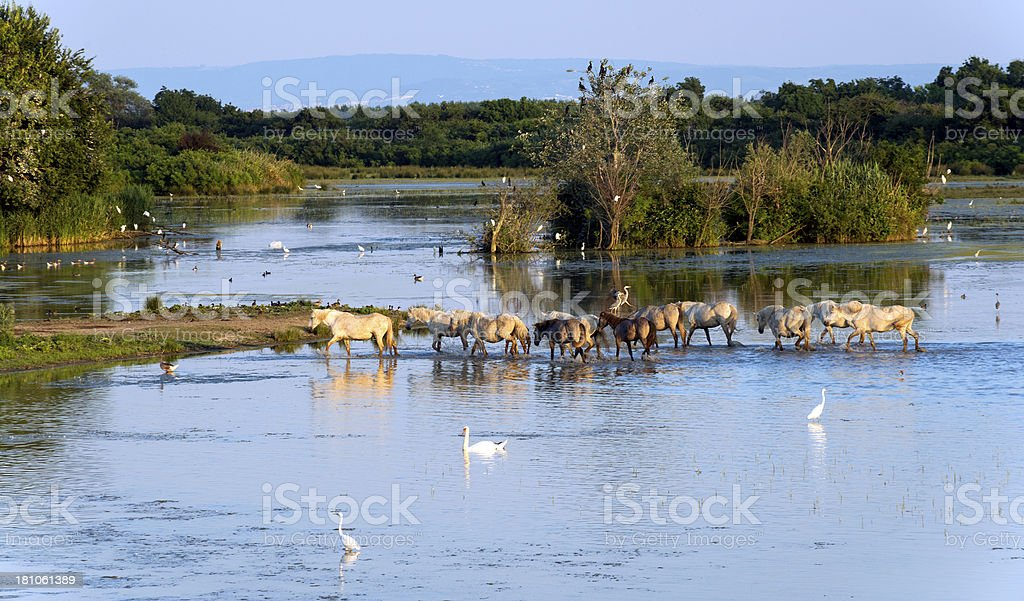 Herd of Wild Camargue Horses in Italy stock photo