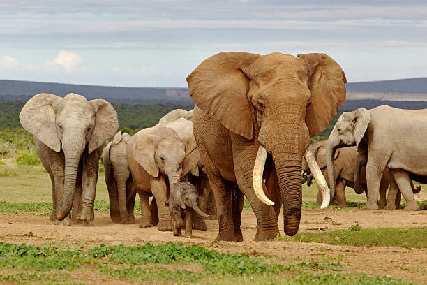 A herd of wild elephants in a field An elephant herd, led by a Magnificent 'Tusker' bull at a waterhole in the Addo Elephant National Park. african elephant stock pictures, royalty-free photos & images