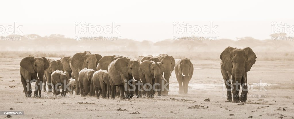 Herde von wilden Elefanten im Amboseli National Park, Kemya. – Foto