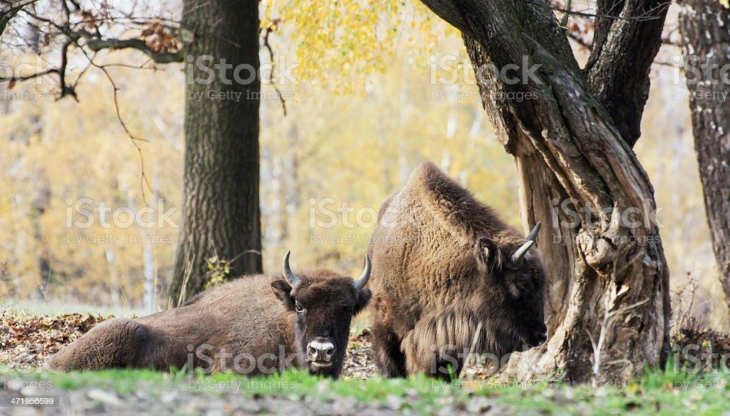 Herd of wild European bison (Bison bonasus) in autumn deciduous stock photo
