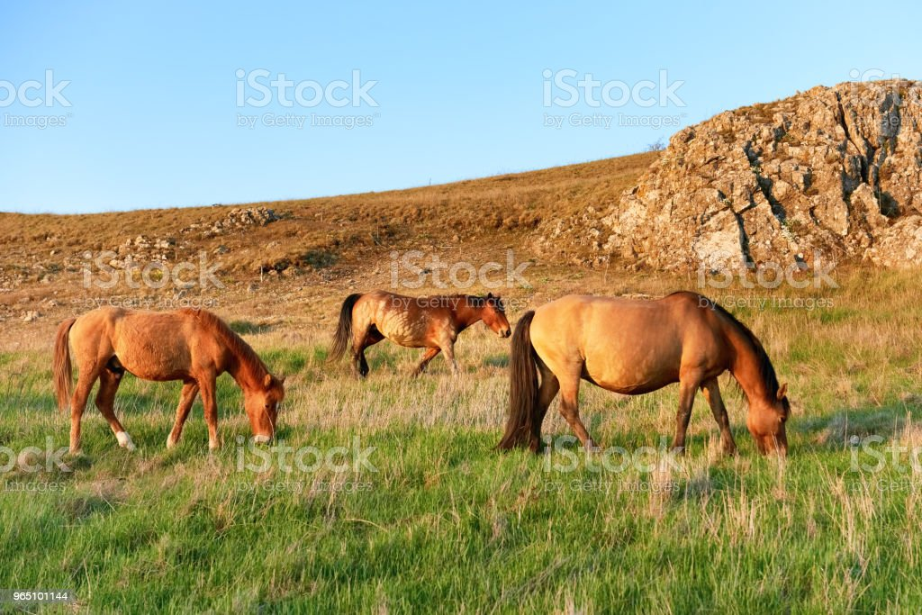 Herd of wild grazing horses zbiór zdjęć royalty-free