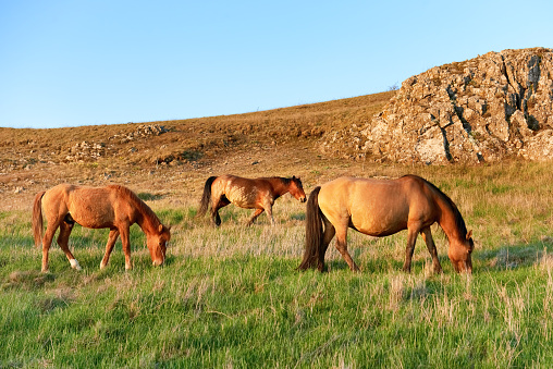 Herd Of Wild Grazing Horses Stock Photo & More Pictures of Agricultural Field