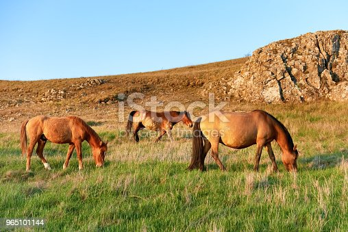 Herd Of Wild Grazing Horses Stock Photo & More Pictures of Agriculture