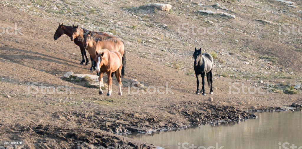 Herd of wild horses at the waterhole in the Pryor Mountains Wild Horse Range in Montana United States stock photo
