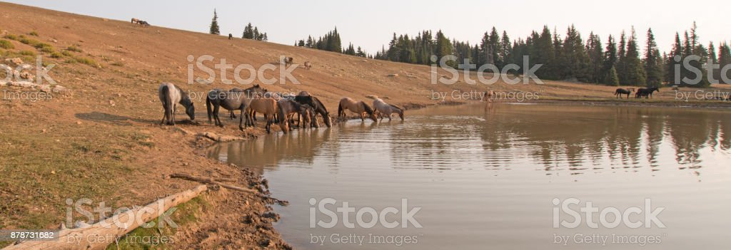Herd of wild horses at watering hole in the Pryor Mountains Wild Horse Range in the states of Wyoming and Montana United States stock photo