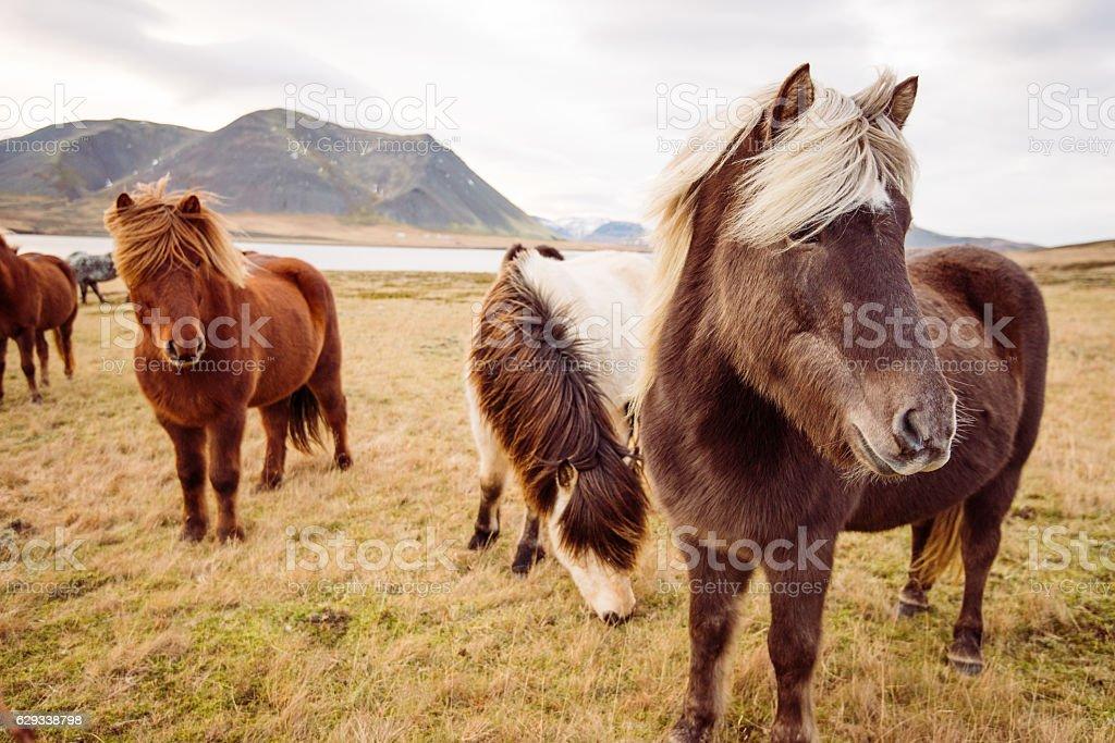 Herd of wild horses in Iceland, on Saefellsnes peninsula stock photo